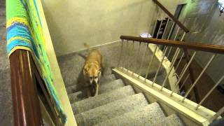 Dog scared by cat's ghost, walks up stairs backwards