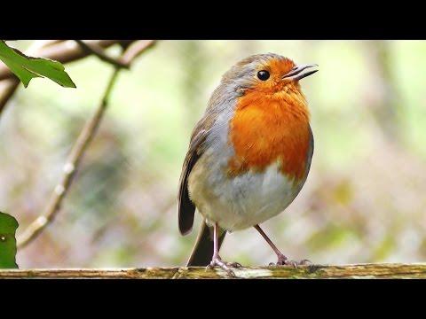 Robin Birds Chirping and Singing - Beautiful Bird Sounds and Bird Song