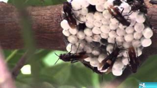 Dangerous Wasps of Kerala