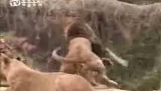 اسد  يهجم على نمر