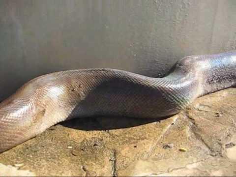 snake anaconda xxx