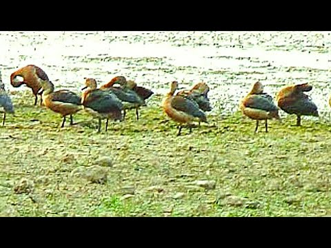 Calls and Landing of lesser whistling teal Duck or Dendrocygna javanica