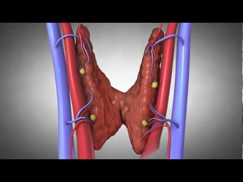 Xxx Mp4 Parathyroid Glands And Hyperparathyroidism Amazing Animation 3gp Sex