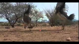 Emus Play with Ferret Toy
