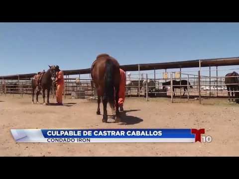Culpable de castrar caballos