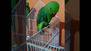 laughing and speaking parrot