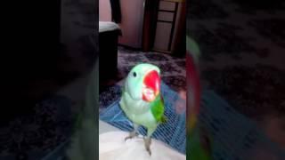 Parrot - Mittu