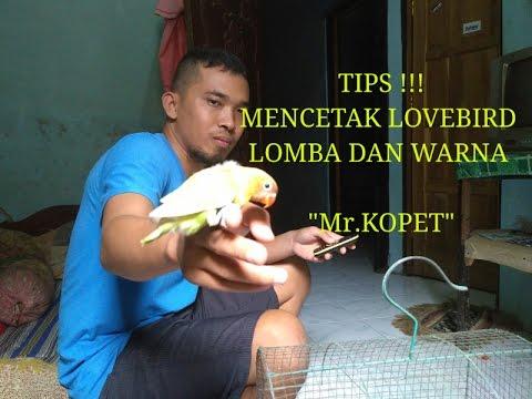 """TIPS !! MENCETAK LOVEBIRD LOMBA DAN LOVEBIRD WARNA """" Mr. KOPET"""""""