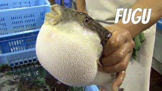 Fugu-fish: risky Japanese delicacy. English version
