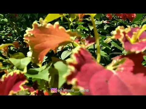 Kallaha dil ard(bunga)