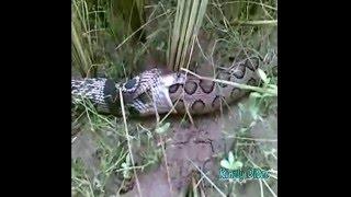 Cobra vs Viper Fight in Sri Lanka