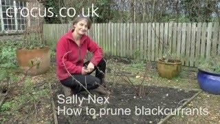 How To: Prune blackcurrants