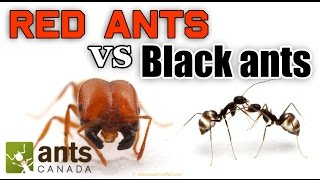 WHO WINS: RED ANTS VS BLACK ANTS