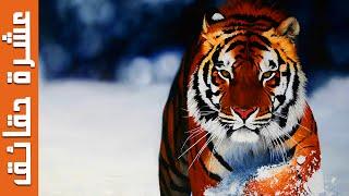 10 حقائق رائعة عن النمور