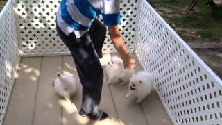 White Pomeranian puppies playing part 1