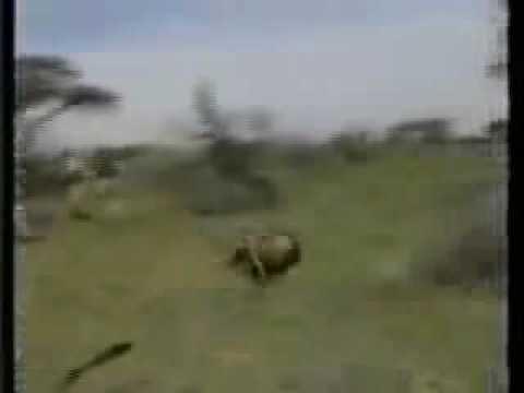 Leão ataca caçadores Leão louco da cabeça