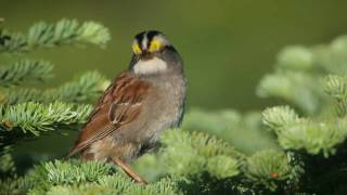 White-throated Sparrow: Whistler of the North