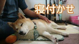 柴犬小春 マッサージメロメロ犬【MELTY DOG】massage