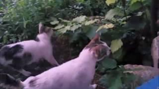 Tavuk mangalı kapıp kaçan açıkgöz inatçı kedi