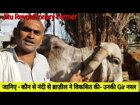 Xxx Mp4 👍 25 Year Old Gir Bull ARJUN NANDI Gir Gau Jatan Sansthan Gondal Rajkot 94081 40328 3gp Sex