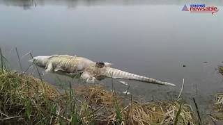 Watch: Crocodiles, fish killed due to contaminated water in ash pond