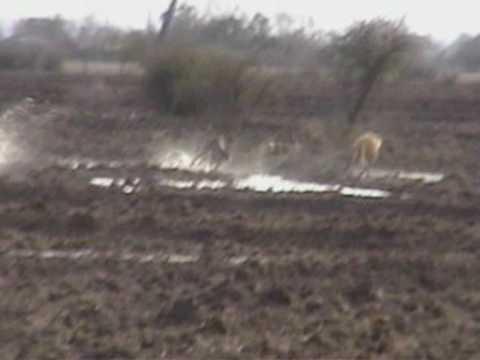 caza de liebres con galgos parral chile.VOB