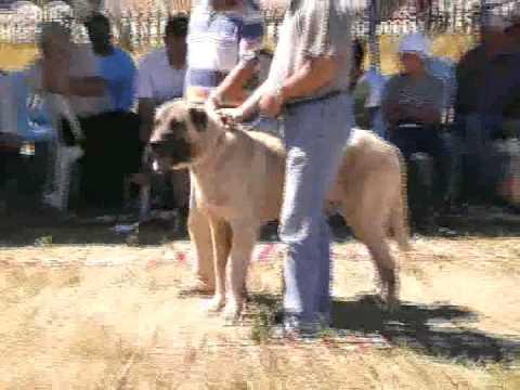 9. Kangal Festivali büyük erkekler sürü köpeği
