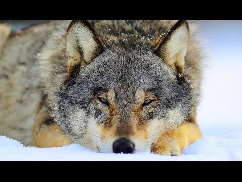 Mouse vs.wolf. Мышь против волка.
