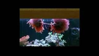Anemone Splitting