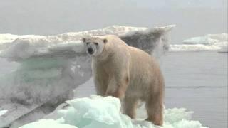 Ours polaires, de Pascal Boille, avec son aimable autorisation