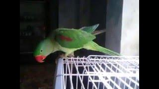 Ayesha ka bolna wala tota - Hilarious talking parrot compilation