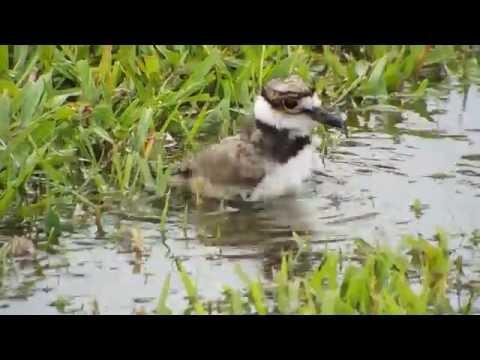 Killdeer chicks bathing, feeding, and snuggling with Mom