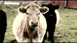Killer Cows
