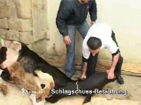 cattle slaughtering shechita