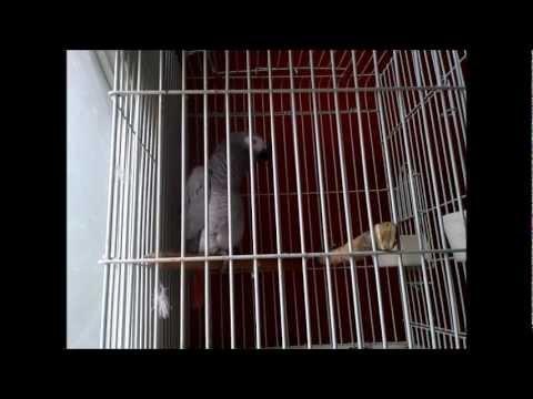 perroquet avec une voix quasi humaine