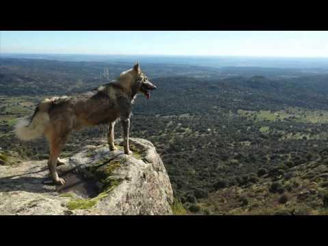 Laika de siberia occidental caza jabali video oficial