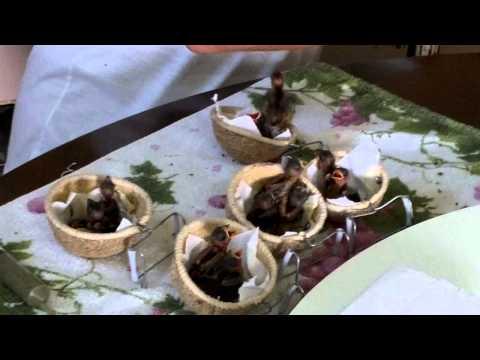 Bicudo Tratamento alternativo filhotes bicudo curió oryzoborus maximiliani angolensis
