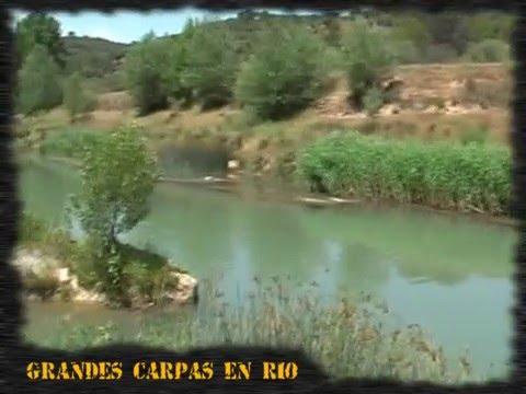 Pesca de grandes carpas en río