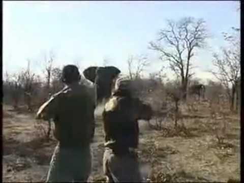 caçadas de elefantes na africa