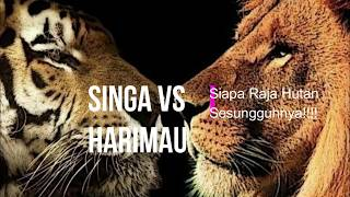 Pertarungan Dahsyat Singa vs Harimau Nyata, Akhirnya Singa...