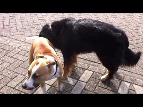 Xxx Mp4 Mating Horny Shepherd Licking AMstafford Dog Sex Kopek Sikisi 3gp Sex