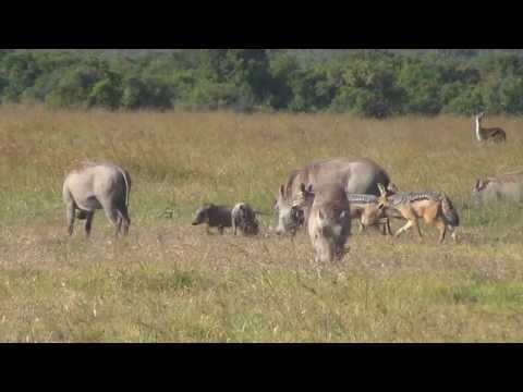 Xxx Mp4 Black Backed Jackals Hunting Warthog Piglets 3gp Sex