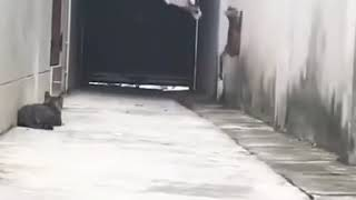 القط الطائر مهاراة عاليه في المناوره