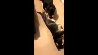 dog licking another dog out