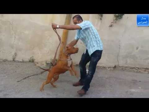 Dressage de Chiens en Kabylie - VidoEmo - Emotional Video
