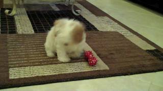 Rascal 12 week old Cavapoo Puppy playing