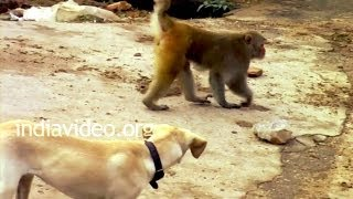 Dog and Monkey - Funny animal video India