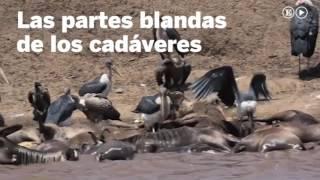 La muerte de ñus que da vida al río Mara | Ciencia
