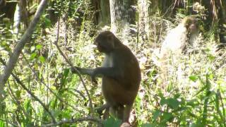 Silver River Monkeys