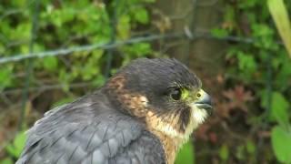 Perlin -  Merlin Peregrine Falcon Hybrid